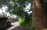 奥ノ町の古木