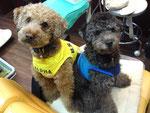 愛犬 トイプードルのルフィとアッシュです。