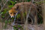 Junger Fuchs vor seinem Bau