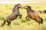 Exmoore-Ponys ähneln Wildpferden.