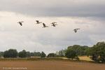 Die Graugänse sammeln sich auf den Feldern rund um den See Torupa flow zum Weiterflug.