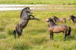 Exmoore-Ponys im Rhäden