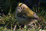 Das Wintergoldhähnchen ist der kleinste Vogel Schwedens.
