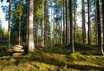 Wald am Morgen
