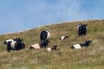 Galloway Rinder in ihrem typischen Gewand.