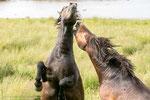 Die Ponys stammen aus England.