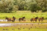 In Südengland leben sie frei in Nationalparks.