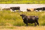 Die Taurusrinder ähneln dem ausgerotteten Auerochsen.