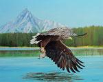 Adler (Watridge Lake, Canada)