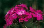 Bartnelke - der Karnische Hauptkamm ist ein Blumenparadies © Rosenwirth