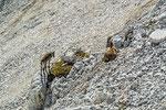 Steingeiß mit Kitz, Triglav-Nationalpark © Rosenwirth