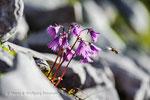 Schwebfliege und Alpenglöckchen © Rosenwirth
