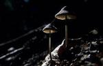 Glimmertintlinge im dichten Wald © Rosenwirth
