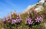 Violett blühender Enzian im Herbst © Rosenwirth