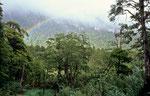 Im Valdivianischen Regenwald, Parque Nacional Nahuel Huapi, Argentinien © Rosenwirth
