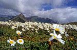 Alpenwucherblume über dem Tuxer Joch © Rosenwirth