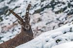 Steinbock im Schneetreiben © Rosenwirth