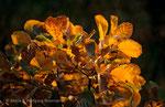 Leuchtendes Herbstlaub - Perückenstrauch © Rosenwirth
