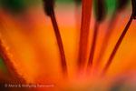Detail einer Feuerlilie © rosenwirth-dia@web.de