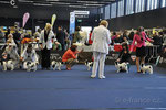 Hünde - Jugendklasse: 11684 Omikudzi Matilda Domino - V4, 11685 Mini Happy Dogs Haus Yu - V, 11686 Givenchy Borisovna Chan du Royaume de Bichonnerie - V, 11687 Chinart Masayme - V,