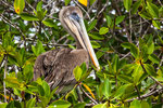 ....a pelican.....