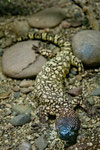 Gila monster (Echse)