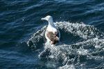 ...ein Albatros...
