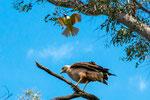 ...dieser kleine Vogel vertreibt mit Todesverachtung den großen Räuber...