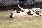 Schildkröten wärmen sich auf