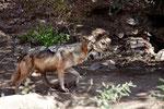 Desert Wolf (Wolf der Wüste)