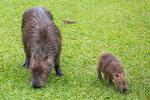 Carpinchos (Wasserschweine) sind eigentlich die größten Nagetiere der Welt...