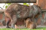 ...nicht Gras sondern Mamas Milch macht groß und stark...