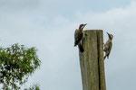...ein Stützschwanzspechtenpaar turtelt am Weidezaun...