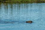 ...das Wasserschwein ist ein guter Schwimmer...