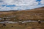 ...im Hochland (über 4.000m) sieht man nur noch Lamas...