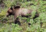 aber eindeutig ein Grizzly