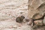 """...und diese Mischung aus Hamster und Maus (ohne Schwanz) heißt """"Cuis""""..."""