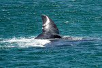 ...vom Ufer aus konnten wir die Wale ganz nahe vorbei ziehen sehen...