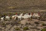 ...hier ein Almabtrieb mit geschmückten Lamas...