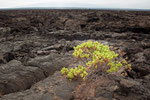 .....few bushes growing on the lava.....