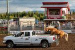 ....Wahnsinn - diese Pferd springt auf fahrenden Pick-up ....
