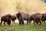....the big bull