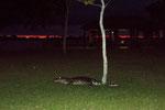 ...bei Dunkelheit kam dieser Kaiman auf den Campground...