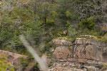 ...von der Ferne sahen wir einen seltenen Andenhirsch (huemule)...