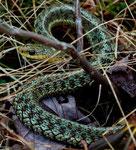 Diese Schlange versperrte den Weg