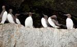 """""""Common Murre"""" = flugfähige Pelikane"""