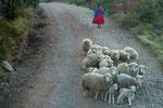 ...Schäferin und Schafe auf dem Nachhauseweg...