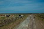 ...fast wilde Pferde in der Pampa.