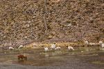 ...Lamas brachen ganz wenig Wasser - hin und wieder aber doch...