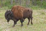 ... und riesige Büffel